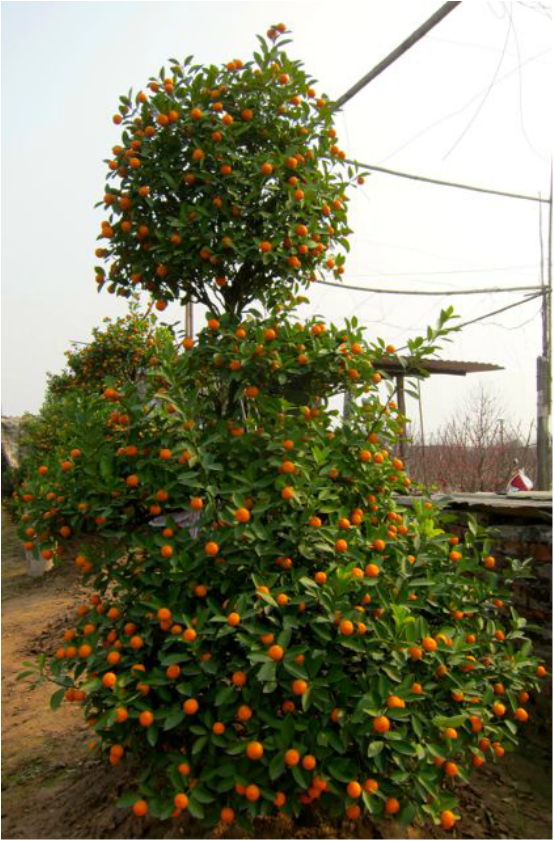 Kumquat Tree for TET