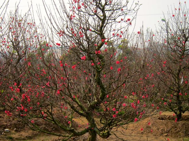 Old Peach Tree in Bloom for TET