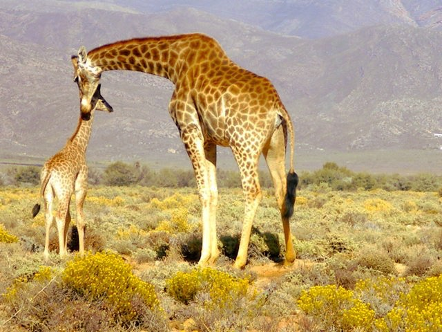 Mother and Child Giraffe
