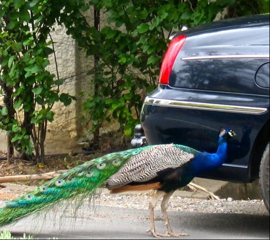 Peacock in Tulbagh