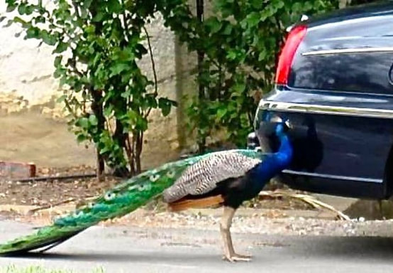 Peacock Pecking on a Car