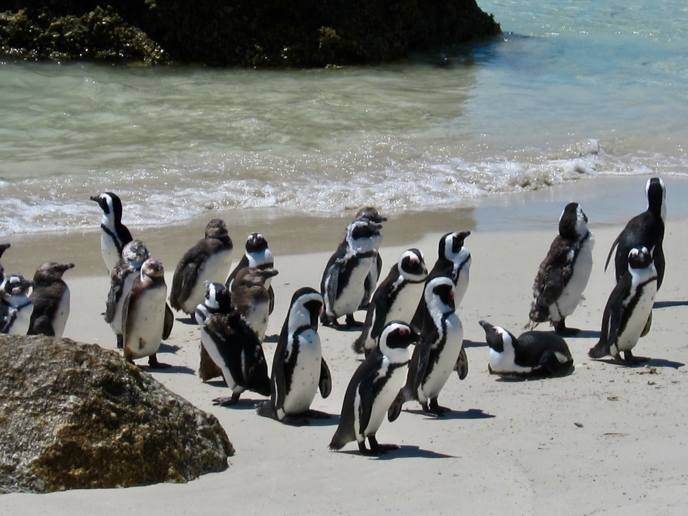 Pottering Penguins in the Western Cape
