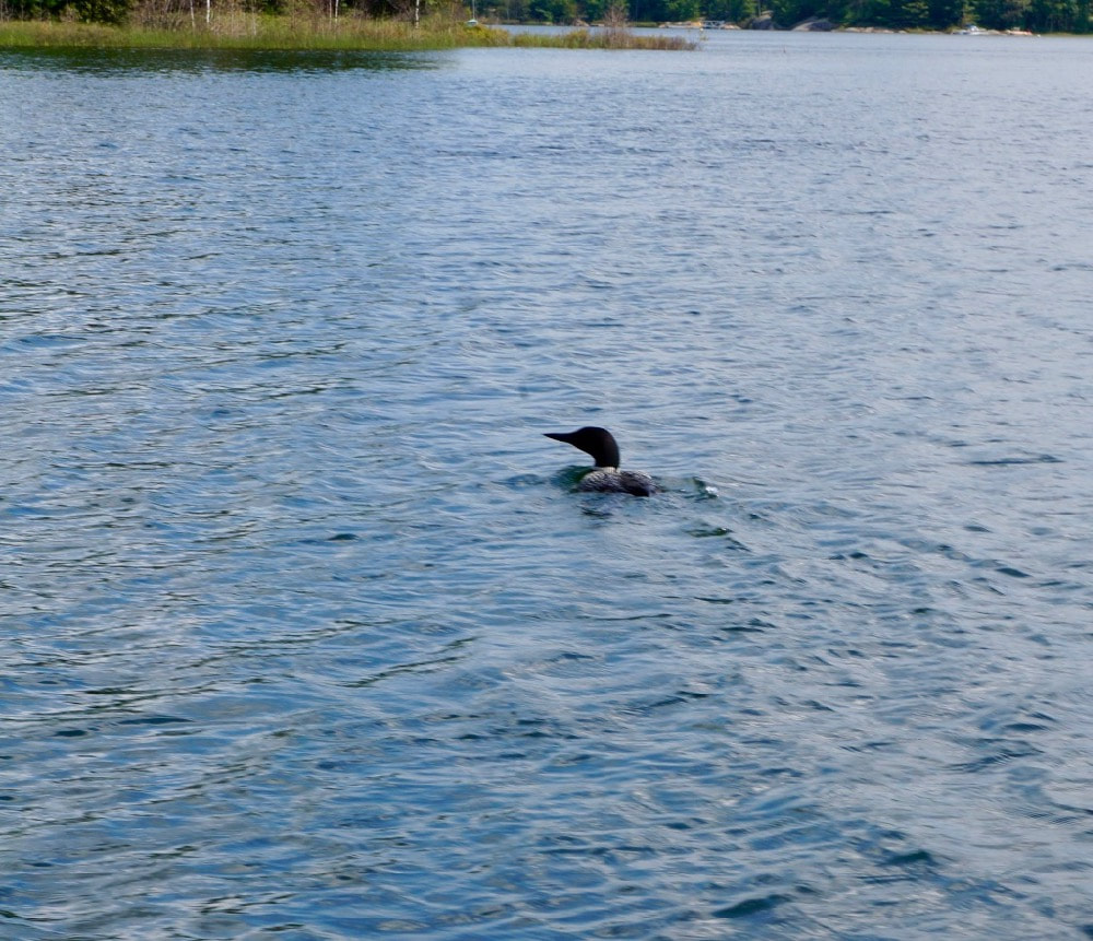 Loon in Georgian Bay