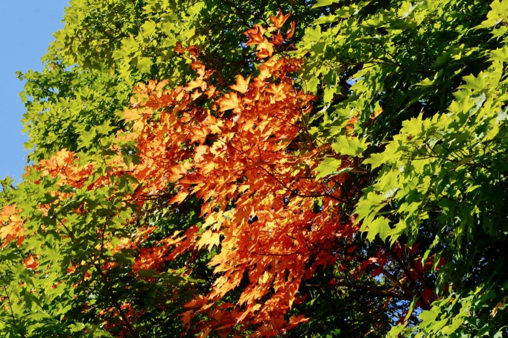 Maple Colours in Fall